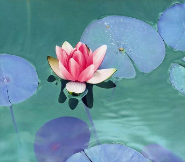 Boyko Kolev - -water lilies