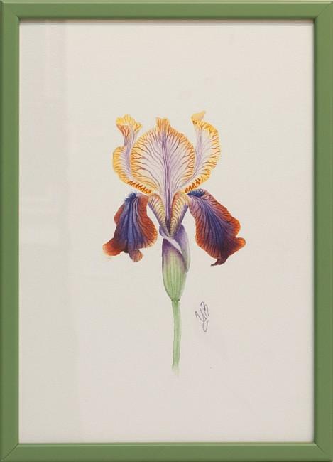 Tsvetelina Hristova - akvarel- Irisi-30x20cm
