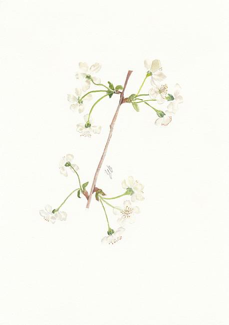 TZVETELINA-Botanica-aquarelle-11